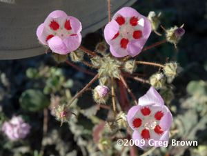 Petals of the Desert Five-Spot reveal delicate inner beauty.